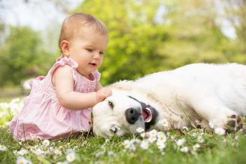 baby playing with a golden retriever dog